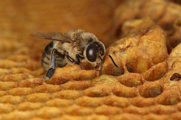 Two insecticides may lower honey bee sperm count