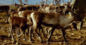 Why should India be concerned about 323 reindeer deaths in Norway?