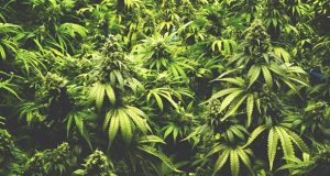 New research defines impact of cannabis on health