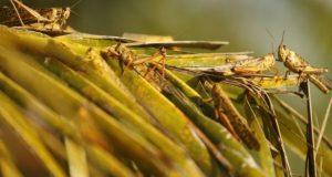 Bolivia declares emergency over locust plague
